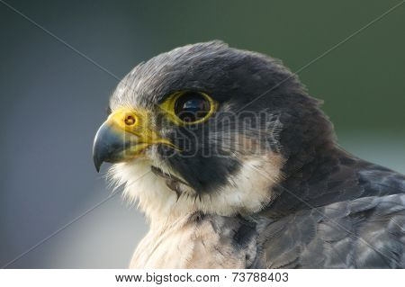 Close-up Of Peregrine Falcon Head Facing Left