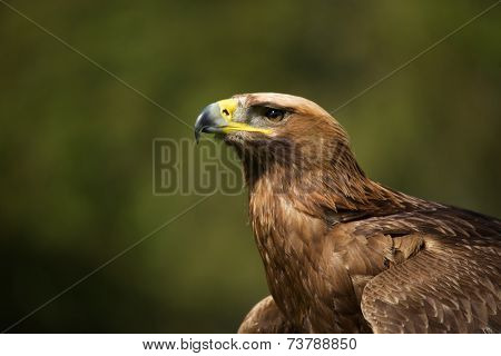 Close-up Of Sunlit Golden Eagle Looking Up
