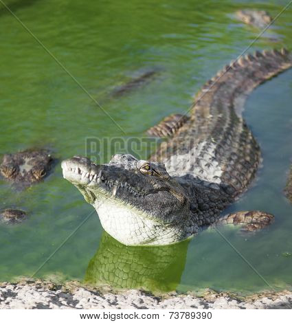 Alligator Lies In The Water