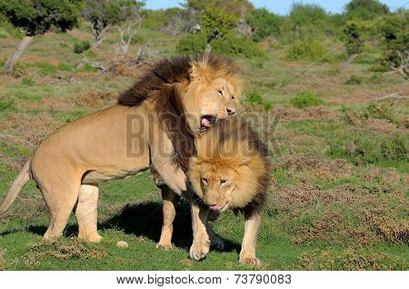 Two Kalahari Lions Playing In The Addo Elephant National Park