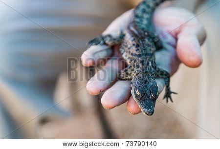 Alligator Lying On A Hand