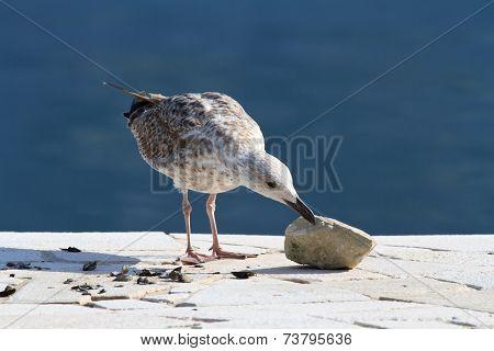 Seagull Pecks Shell Rock Close Up