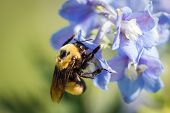 foto of bumble bee  - close up of a bumble bee pollinating spring blue flowers on a green background - JPG