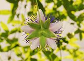picture of tendril  - The back of a Purple Haze Passiflora flower an evergreen tendril climbing vine - JPG