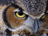 image of owl eyes  - Majestic Great Horned Owl - JPG