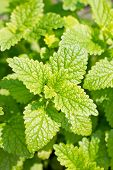 picture of peppermint  - Peppermint plant in the sunny day in farm - JPG