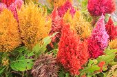 stock photo of celosia  - beautiful plumped celosia flower in the garden - JPG