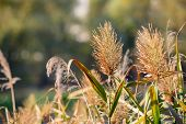 pic of bulrushes  - Bulrush flower close to the lake in autumn - JPG