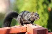 Постер, плакат: Squirrel Black Sciurus