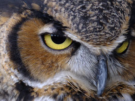 foto of owl eyes  - Majestic Great Horned Owl - JPG