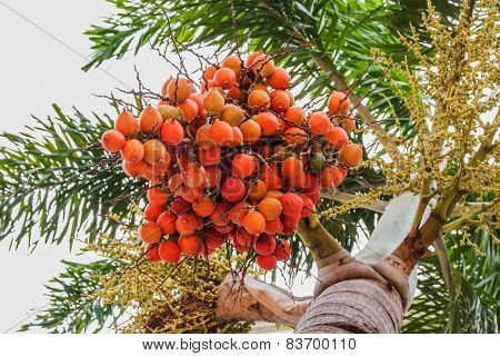Red Colour Sealing Wax Palm Fruit