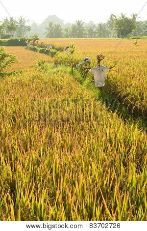 Rice field in Bali