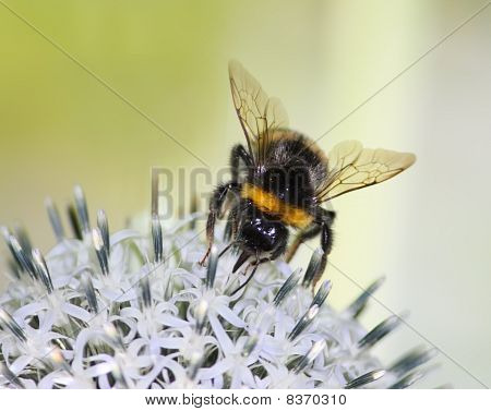 Bumblebee on a Flower