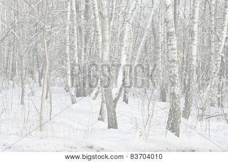 Winter Birch Trees In Snow
