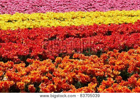 background of tulips field different colors in Holland