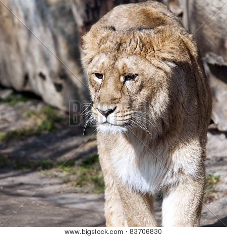 Young Lion (female)