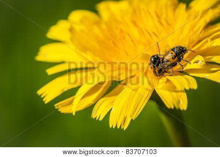 insect having sex on a yellow flower