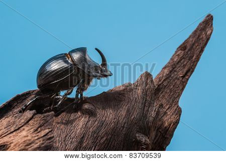 Rhinoceros beetle on tree trunk and blue background