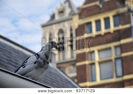 Pigeon on the roof