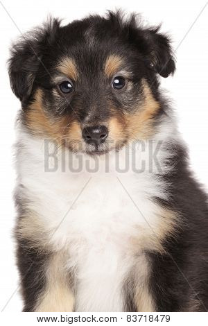 Sheltie Puppy Portrait On White Background