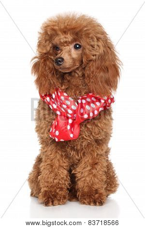 Poodle Puppy In Scarf
