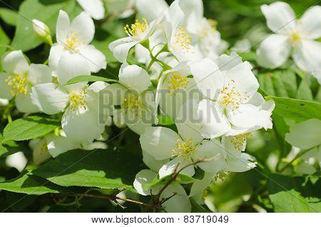 Jasmine vintage flower