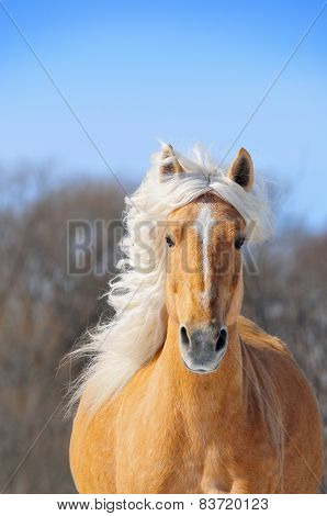 Nice Palomino Horse Running Portrait In Spring