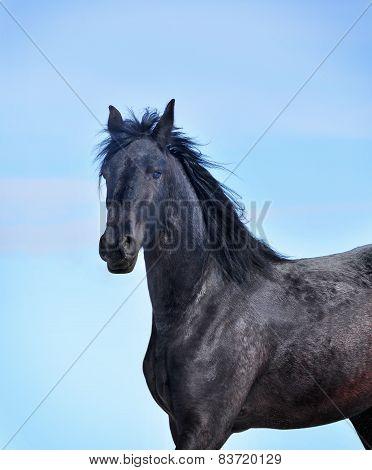 Friesian Horse Looking