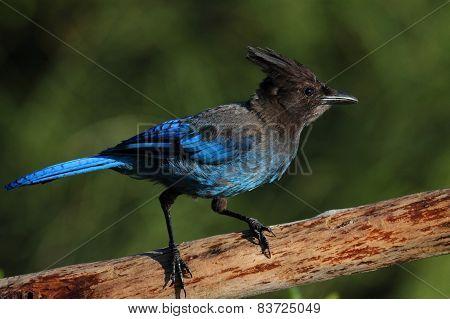 Stellers Jay (cyanocitta Stelleri) On A Perch