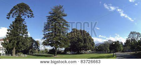 Bunya-bunya, Norfolk Island Pines And Big Fig