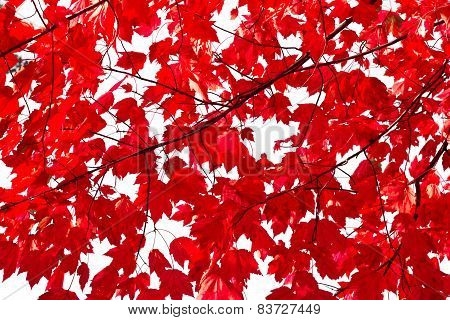 Colorful Red Leaves Background Texture