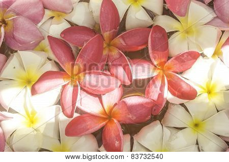 Pink And White Pattern Of Plumeria Flower.