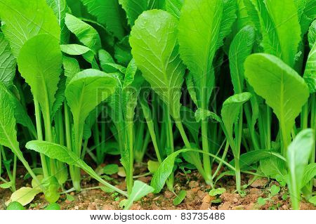 Green leaf mustard in growth at vegetable garden