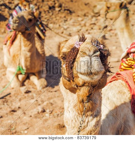 single-humped camels in desert