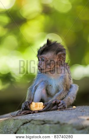 Long-tailed Macaque Monkey