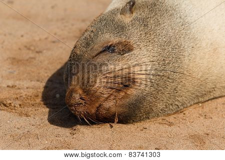 Cape Fur Seal Sleeping Close Up