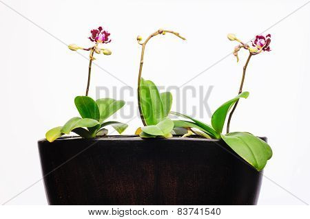 Three Orchid Plants Pot New Flower