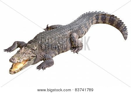 Crocodile Isolated On White Blackground