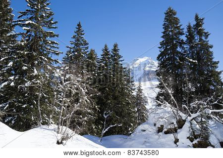 The Jungfrau behind the forest in the Winter
