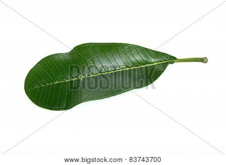 Frangipani Leaf With Stem Isolated On White Background