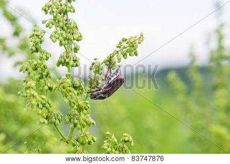 Chafer Hung On A Blade Of Grass