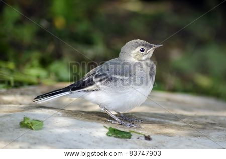 White Wagtail Chick