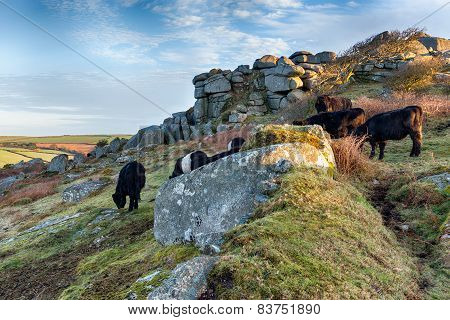 Cattle At Helman Tor