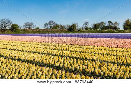 Blooming Hyacinths In The Field Of A Nursery