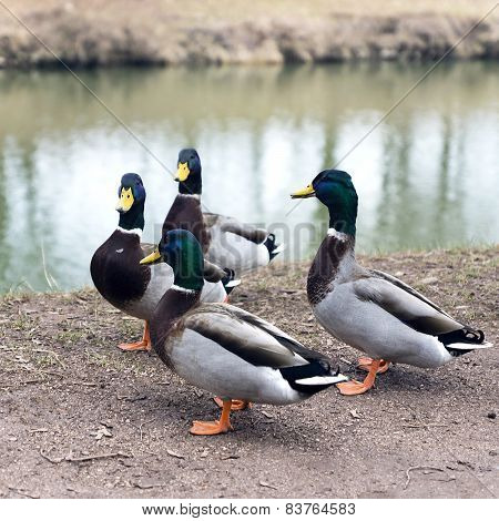 Bunch Of Colored Mallard Ducks On The River