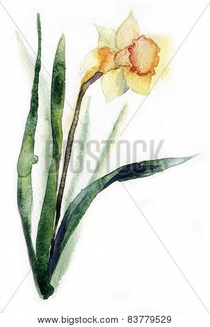 bouquet of narcissus watercolor