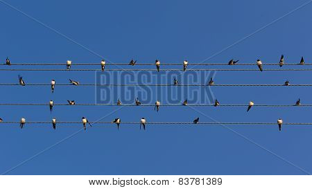 Flock Of Swallows On Power Lines (16:9 Aspect Ratio)