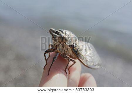 cicada on a finger