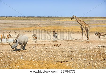 Black Rhino Giraffe, Gemsbok Oryx and Zebra in Etosha