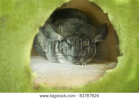 Sleeping Chinchilla